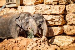 Οι ασιατικοί ελέφαντες, βιβλικός ζωολογικός κήπος της Ιερουσαλήμ στο Ισραήλ Στοκ Φωτογραφίες