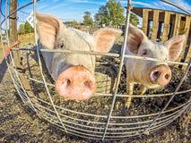 Οι αστείοι μικροί χοίροι στο αγρόκτημα Στοκ φωτογραφία με δικαίωμα ελεύθερης χρήσης