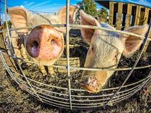 Οι αστείοι μικροί χοίροι στο αγρόκτημα Στοκ Εικόνες