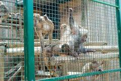 Οι αστείοι πίθηκοι ρωτούν τα τρόφιμα από τους επισκέπτες στο ζωολογικό κήπο μέσω ενός κλουβιού σιδήρου στοκ φωτογραφία