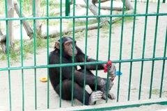 Οι αστείοι πίθηκοι ρωτούν τα τρόφιμα από τους επισκέπτες στο ζωολογικό κήπο μέσω ενός κλουβιού σιδήρου Οικογένεια των macaques στοκ εικόνες