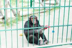 Οι αστείοι πίθηκοι ρωτούν τα τρόφιμα από τους επισκέπτες στο ζωολογικό κήπο μέσω ενός κλουβιού σιδήρου Οικογένεια των macaques στοκ εικόνες με δικαίωμα ελεύθερης χρήσης
