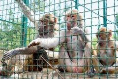 Οι αστείοι πίθηκοι ρωτούν τα τρόφιμα από τους επισκέπτες στο ζωολογικό κήπο μέσω ενός κλουβιού σιδήρου Οικογένεια των macaques στοκ εικόνα με δικαίωμα ελεύθερης χρήσης