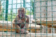 Οι αστείοι πίθηκοι ρωτούν τα τρόφιμα από τους επισκέπτες στο ζωολογικό κήπο μέσω ενός κλουβιού σιδήρου Οικογένεια των macaques στοκ εικόνα