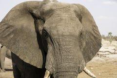 Οι αφρικανικοί ελέφαντες στον ελέφαντα στρώνουν με άμμο waterhole, Μποτσουάνα Στοκ Εικόνα