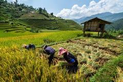 Οι βιετναμέζικοι αγρότες συγκομίζουν σε Sapa στοκ φωτογραφίες με δικαίωμα ελεύθερης χρήσης