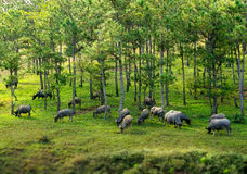 οι βούβαλοι στο δάσος πεύκων Στοκ φωτογραφία με δικαίωμα ελεύθερης χρήσης