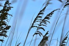 Οι βρώμες θάλασσας διαμορφώνουν ένα προστατευτικό πέπλο γύρω από την αμμώδη παραλία της βόρειας Φλώριδας στοκ εικόνες με δικαίωμα ελεύθερης χρήσης