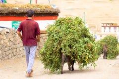 Οι γάιδαροι φέρνουν ένα φορτίο των πράσινων μπιζελιών στοκ φωτογραφίες με δικαίωμα ελεύθερης χρήσης