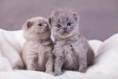 Οι γάτες θέτουν για τις φωτογραφίες Στοκ εικόνες με δικαίωμα ελεύθερης χρήσης