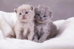 Οι γάτες θέτουν για τις φωτογραφίες Στοκ Φωτογραφίες