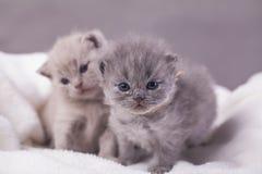 Οι γάτες θέτουν για τις φωτογραφίες Στοκ φωτογραφία με δικαίωμα ελεύθερης χρήσης