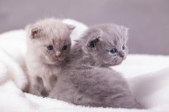 Οι γάτες θέτουν για τις φωτογραφίες Στοκ Εικόνες