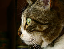 οι γάτες κοιτάζουν Στοκ Εικόνες