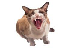 Οι γάτες ορμούν την Ταϊλάνδη Στοκ Φωτογραφίες