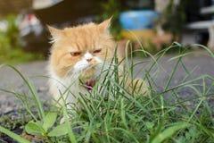 Οι γάτες τρώνε τη χλόη πράσινη Στοκ Φωτογραφία