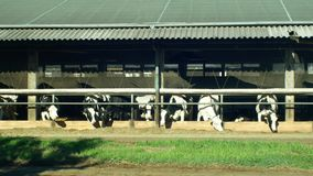 Οι γαλακτοκομικές αγελάδες που ταΐζουν σε μια σιταποθήκη, αγελάδες τρώνε την υψηλής ποιότητας τροφή χορταριού καλαμποκιού, ο σταύ απόθεμα βίντεο