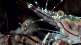 Οι γαρίδες γυαλιού κλείνουν επάνω καλυμμένος σε αναζήτηση των τροφίμων υποβρύχιων της άσπρης θάλασσας απόθεμα βίντεο