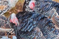 Οι γαλοπούλες καθαρίζουν τα φτερά φτερών της Στοκ φωτογραφία με δικαίωμα ελεύθερης χρήσης