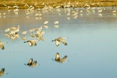 Οι γερανοί Sandhill πετούν πέρα από το Bosque del Apache National καταφύγιο άγριας πανίδας στην ανατολή, κοντά στο San Antonio κα Στοκ Φωτογραφία