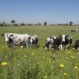 Οι γραπτές αγελάδες έρχονται κοντά στα κίτρινα λουλούδια άνοιξη στο ολλανδικό πράσινο χλοώδες λιβάδι κάτω από το μπλε ουρανό στην Στοκ Εικόνες