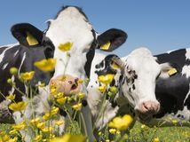 Οι γραπτές αγελάδες έρχονται κοντά στα κίτρινα λουλούδια άνοιξη στο ολλανδικό πράσινο χλοώδες λιβάδι κάτω από το μπλε ουρανό στην Στοκ Φωτογραφία