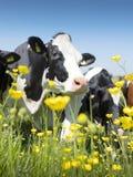 Οι γραπτές αγελάδες έρχονται κοντά στα κίτρινα λουλούδια άνοιξη στο ολλανδικό πράσινο χλοώδες λιβάδι κάτω από το μπλε ουρανό στην Στοκ Φωτογραφίες