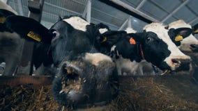 Οι γραπτές αγελάδες τρώνε στεμένος σε ένα byre σε μια σειρά απόθεμα βίντεο