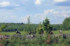 Οι γραπτές και καφετιές αγελάδες με τα κέρατα βόσκουν στο picturesq Στοκ Εικόνες