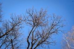Οι γυμνοί κλάδοι ενάντια στο μπλε ουρανό Στοκ φωτογραφίες με δικαίωμα ελεύθερης χρήσης