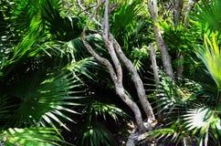 Οι γυμνοί κλάδοι ενός δέντρου εισβάλλουν στο διάστημα ενός υγιούς νάνου Palmetto - του Μεξικού στοκ εικόνες