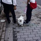 Οι γυναίκες περπατούν με ένα μικρό άσπρο χαριτωμένο σκυλί στοκ φωτογραφίες