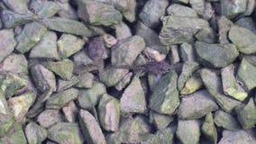 Οι γυρίνοι τρώνε τα άλγη στις πέτρες στο νερό Ένας γυρίνος αφοδεύει τρώγοντας τα άλγη