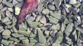 Οι γυρίνοι τρώνε τα άλγη στις πέτρες στο νερό Να αναπτυχθεί στη νέα ζωή βατράχων