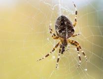 Οι διαγώνιος-αράχνες Araneus Στοκ Φωτογραφίες