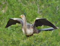 Οι διαδοχικές καταδύσεις αναστατώνουν τα φτερά του anhinga, που απαιτούν το πουλί για να ξοδεψουν ένα μεγάλο μέρος της χρονικά στοκ εικόνες