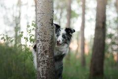 Οι δορές σκυλιών πίσω από ένα δέντρο Pet στη φύση στο δάσος Στοκ εικόνα με δικαίωμα ελεύθερης χρήσης