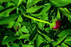 Οι δορές σφηκών πίσω από τα πράσινα peony φύλλα Στοκ φωτογραφία με δικαίωμα ελεύθερης χρήσης