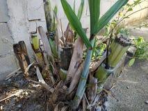 Οι εγκαταστάσεις ζάχαρης καλάμων στη Βραζιλία στοκ εικόνες