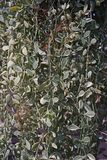 Οι εγκαταστάσεις Apocynaceae είναι epiphytes εγγενή στις τροπικές περιοχές της Κίνας, της Ινδίας και της Νοτιοανατολικής Ασίας Στοκ Εικόνες