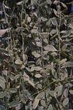 Οι εγκαταστάσεις Apocynaceae είναι epiphytes εγγενή στις τροπικές περιοχές της Κίνας, της Ινδίας και της Νοτιοανατολικής Ασίας, κ Στοκ Φωτογραφίες