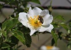 Οι ειλικρινείς άγρια περιοχές λουλουδιών αυξήθηκαν Στοκ Εικόνα
