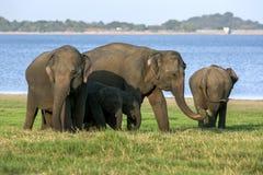 Οι ελέφαντες και οι μόσχοι βόσκουν δίπλα στη δεξαμενή στο εθνικό πάρκο Minneriya στη Σρι Λάνκα στοκ εικόνες με δικαίωμα ελεύθερης χρήσης