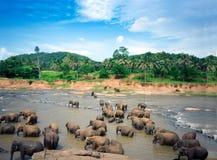 Οι ελέφαντες λούζουν στον ποταμό Oya στη Σρι Λάνκα, ορφανοτροφείο ελεφάντων Pinnawala στοκ φωτογραφίες