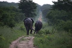 Οι ελέφαντες στο εθνικό πάρκο Hwage, Ζιμπάμπουε, ελέφαντας, χαυλιόδοντες, μάτι ελεφάντων ` s κατοικούν Στοκ εικόνα με δικαίωμα ελεύθερης χρήσης