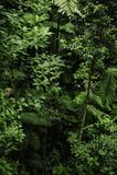 Οι εναέριες ρίζες είναι ρίζες επάνω από το έδαφος και βρίσκονται στα epiphytes όπως τα θερμός-συγκρατημένα δέντρα τροπικών δασών στοκ εικόνες με δικαίωμα ελεύθερης χρήσης
