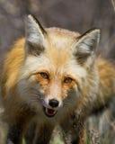Οι ενεργητικές κόκκινες προσεγγίσεις αλεπούδων με το στόμα ανοίγουν και καμμένος μάτια στοκ εικόνα
