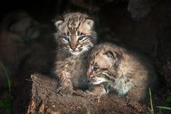 Οι εξαρτήσεις Bobcat μωρών (rufus λυγξ) κοιτάζουν έξω από το κούτσουρο Στοκ Φωτογραφίες
