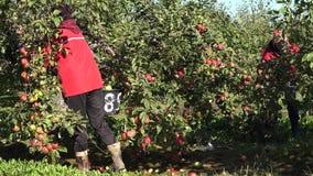 Οι επίμοχθες γυναίκες επιλέγουν τα φρούτα μήλων συγκομιδών από το δέντρο και φέρνουν το βαρύ κάδο 4K απόθεμα βίντεο