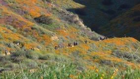 Οι επισκέπτες περπατούν κατά μήκος μιας πορείας στο φαράγγι περιπατητών για να δουν την πορτοκαλιά έξοχη άνθιση παπαρουνών απόθεμα βίντεο